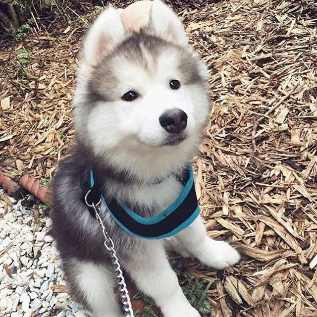 1000 ideas about cute husky puppies on pinterest for Tap tap fish corgi