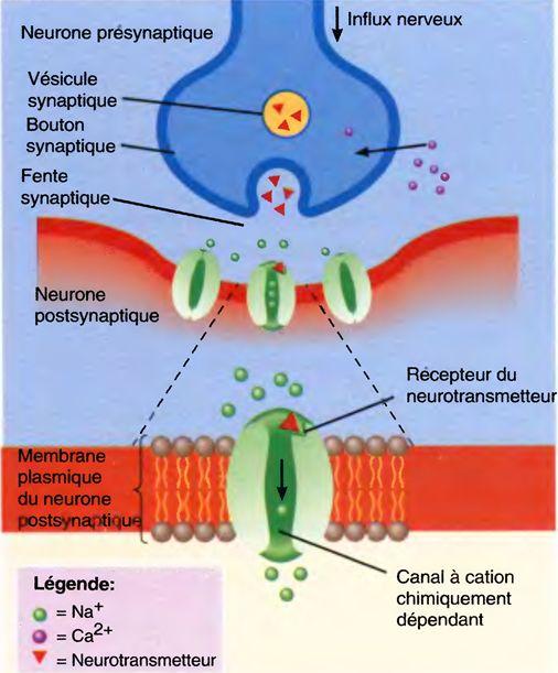 Les synapses chimiques