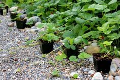 how to replant strawberry runners