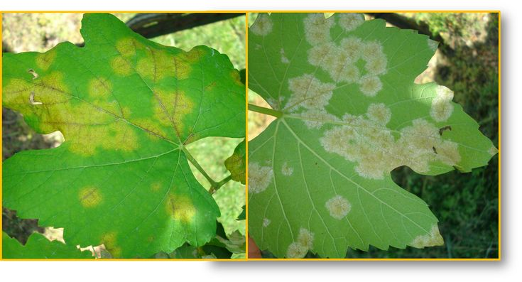 Downy mildew (Plasmopara viticola) shown on the upper and lower surface of a grape leaf.