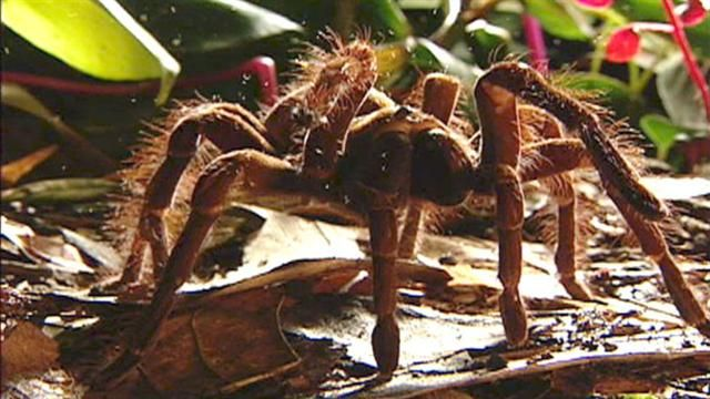 The goliath birdeater tarantula of South America is arguably the biggest spider in the world. Watch as one hapless mouse wanders into a spider's deadly trap, and see the unusual adaptations that make the goliath one of nature's deadliest ambushers.