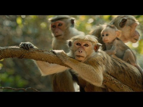 Check out the new trailer for Disney's Monkey Kingdom!