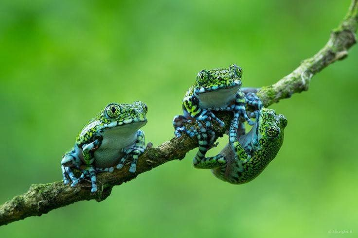 reptiles animal chameleon frog - photo #24