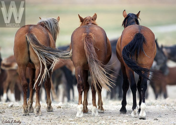 wild,mustangs,horses,Utah wild horses,equus, | Wild West Art & Media