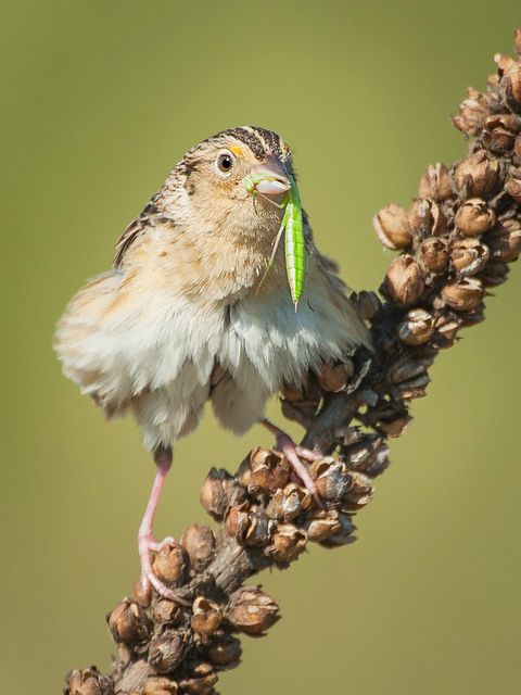 Grasshopper Sparrow (Ammodramus savannarum) |