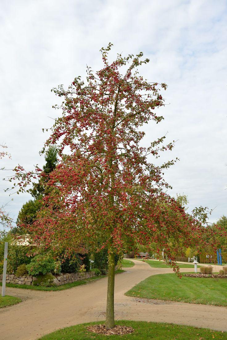 Kleine boom met een ronde kroon. De takstand is spreidend, later buigen de takken iets door. De twijgen en stam zijn kaal en donkerbruin. Het groene blad loopt bronskleurig uit en heeft rood getinte bladstelen. De circa 4 cm grote bloemen staan in bundels van 4 tot 8 bijeen en zijn enkel. In knop is de kleur roze, eenmaal geopend zijn de bloemen wit. 'Red Sentinel' vormt talrijke kogelvormige helderrode vruchten met een doorsnede van circa  2,8 cm die lang aanblijven. Bruikbaar in par...