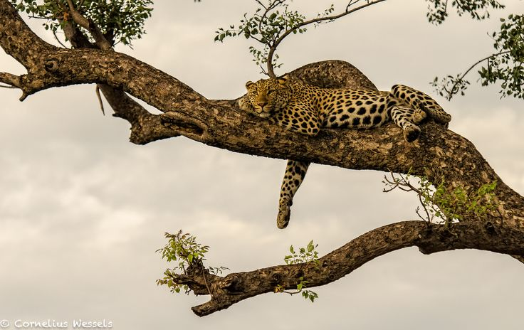 Stunning scenery with Samson the male Leopard  Photo Credit: Cornelius Wessels