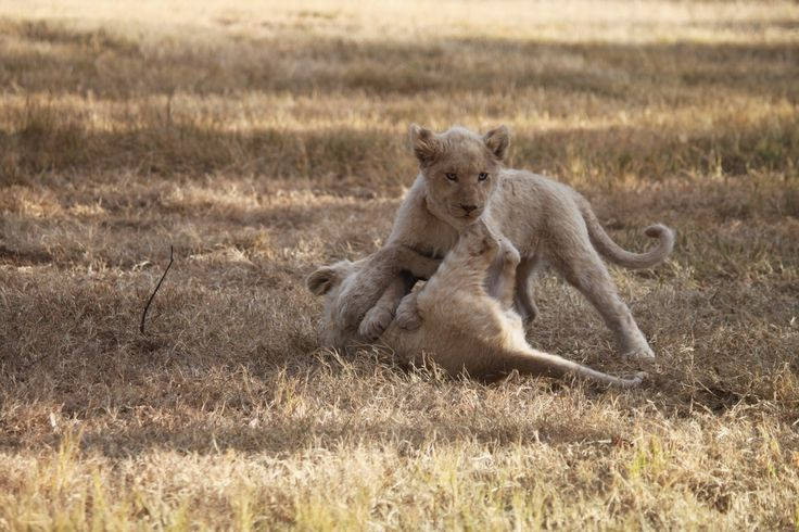 Lion cubs playing, Lion Park, South Africa