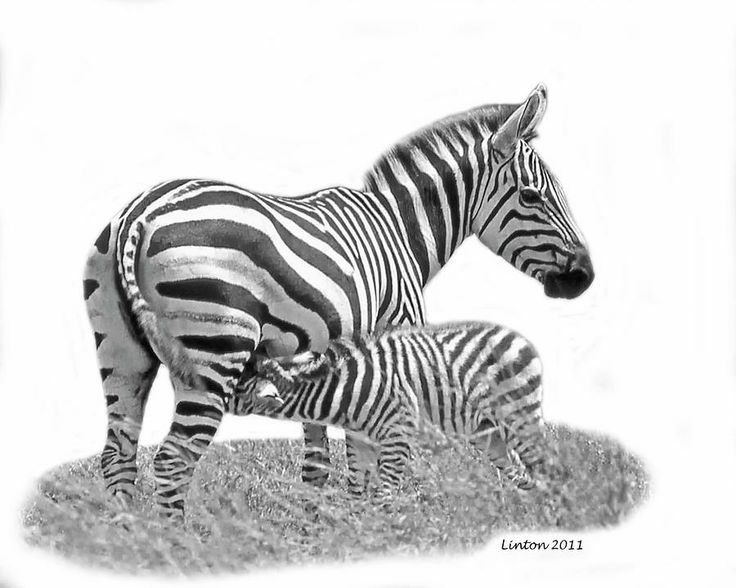 African Zebras Photograph by Larry Linton - African Zebras Fine Art Prints and Posters for Sale