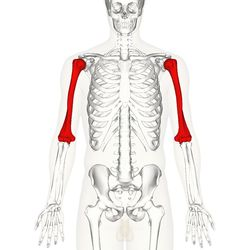 The humerus (/ˈhjuːmərəs/, Plural: humeri) is a long bone in the arm or forelimb that runs from the shoulder to the elbow. It connects the scapula and the two bones of the lower arm, the radius and ulna, and consists of three sections. The upper extremity consists of a rounded head, a narrow neck, and two short processes (tubercles, sometimes called tuberosities). Its body is cylindrical in its upper portion, and more prismatic below. The lower extremity consists of 2 epicondyles, 2…