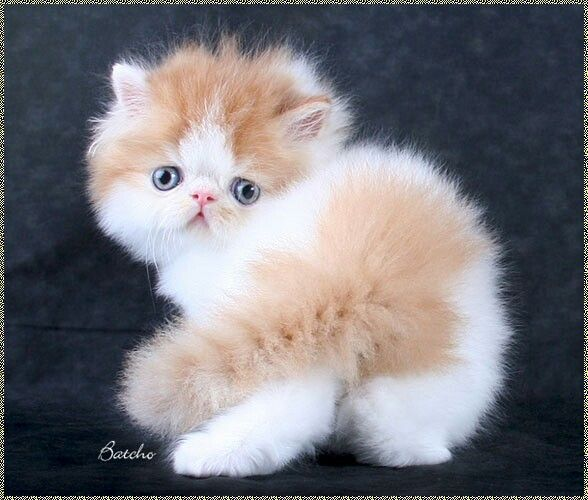 Red and white bi-colour persian kitten