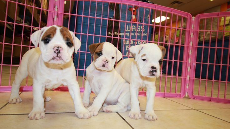 English Bulldog Puppies For Sale In Charlotte Nc