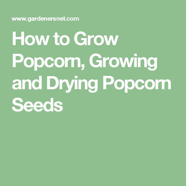 How to Grow Popcorn, Growing and Drying Popcorn Seeds