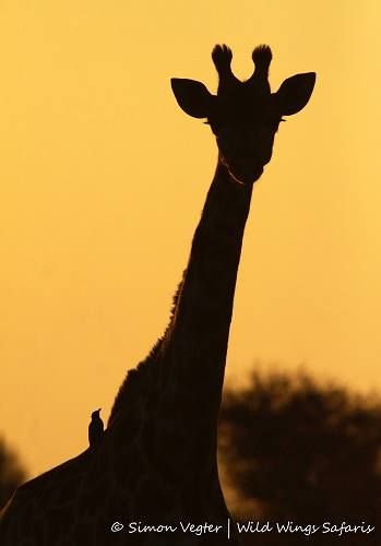 Giraffe at sunset, with ox-peckers going for a ride ...