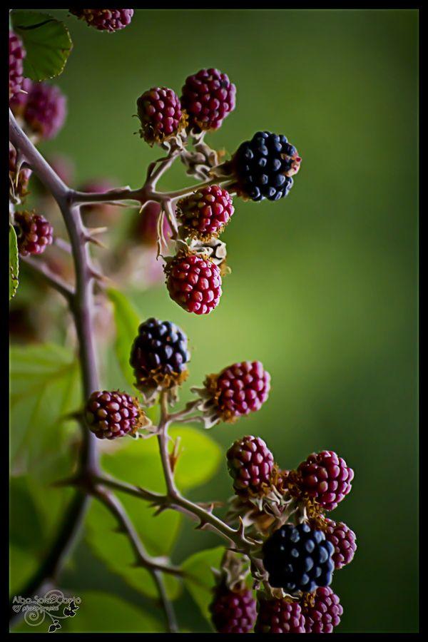 fresh fruits photos                                          blackberries