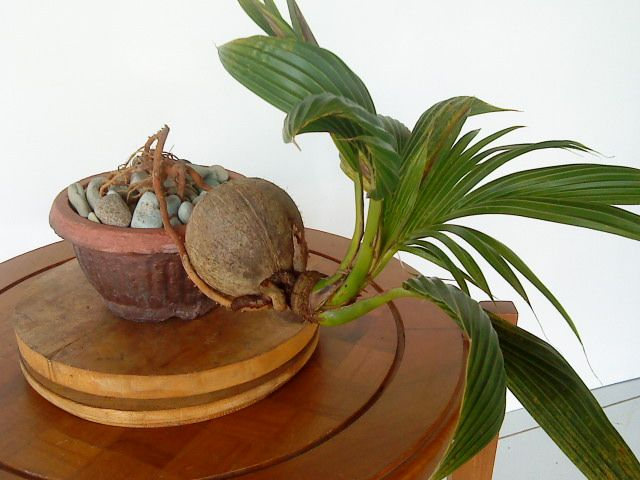Coconut Bonsai Tree | About Coco Bonsai | COCO BONSAI