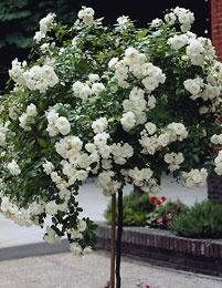 Runkoruusu White Fairy