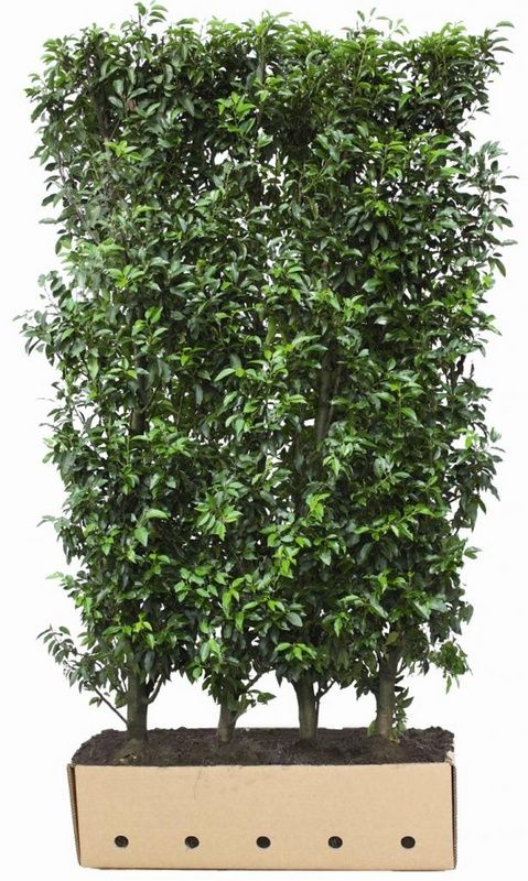 quickhedge instant hedges evergreen prunus lusitanica. Black Bedroom Furniture Sets. Home Design Ideas