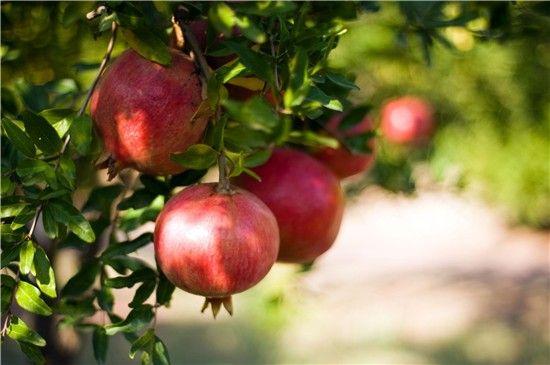 El fruto de la granada, en el árbol