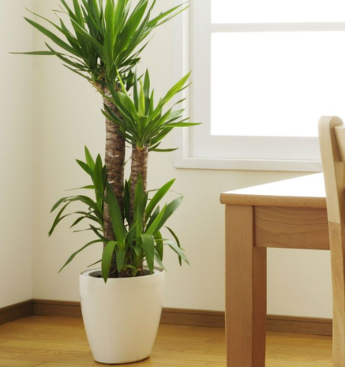 Indoor plants tall home decor pinterest indoor and plants - Best tall indoor house plants ...