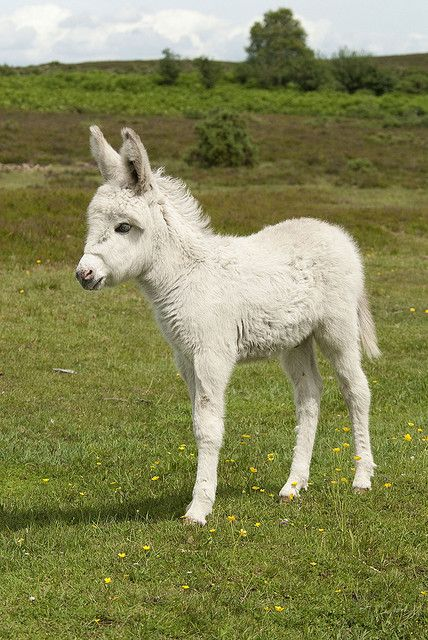Little white donkey