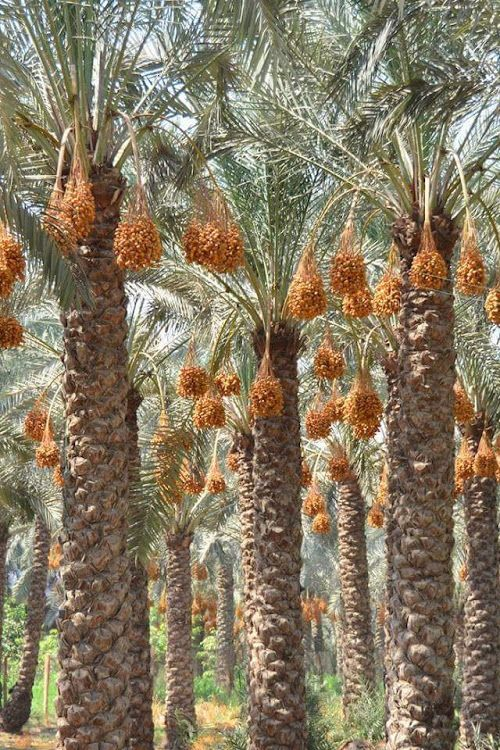 Palm Trees Full Of Dates Ready For Harvest