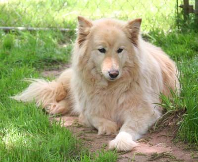A Collie / Wolf Hybrid | RE: Are Wolf Hybrid Dogs Safe? http://www.thriftyfun.com/tf824688.tip.html