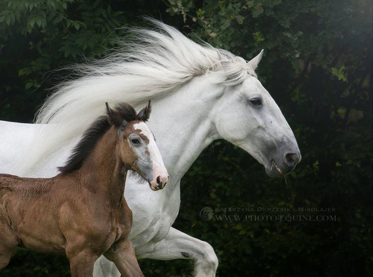 Shire Horse mare and foal. Photo by Katarzyna Okrzesik Photography.