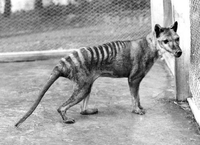 El Ultimo Tigre De Tasmania Murio Por Un Descuido De Su Cuidador Tigre De Tasmania