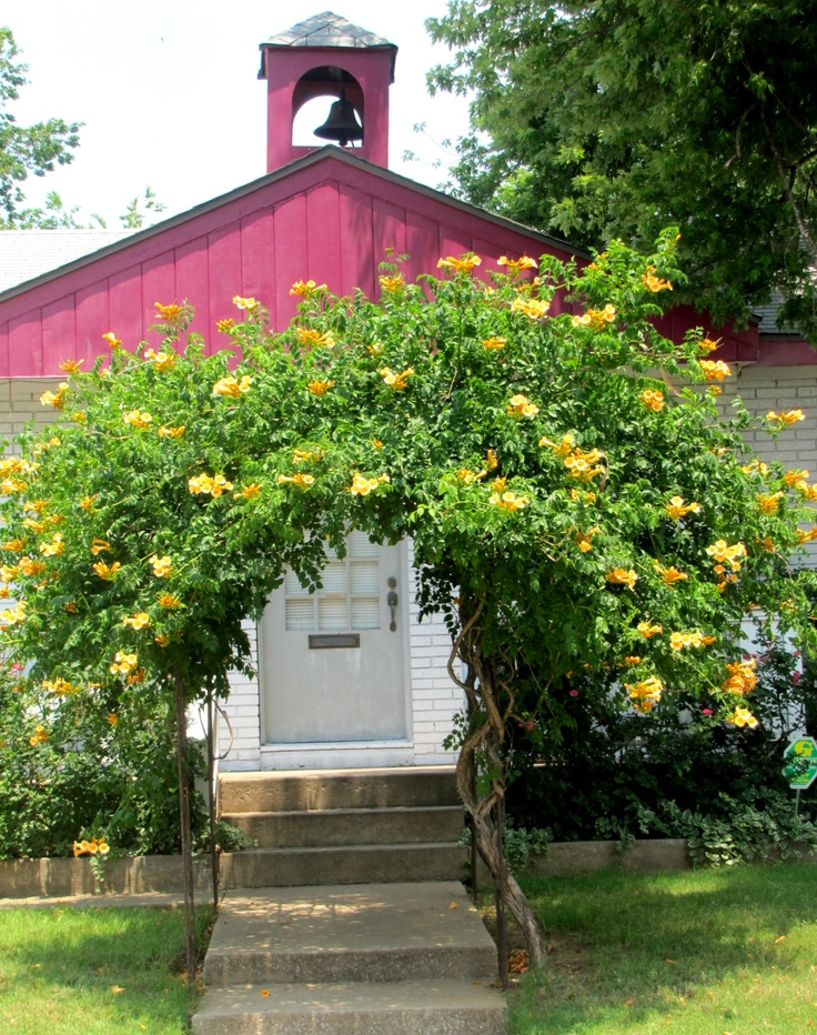 Arbor with yellow Bougainvillea