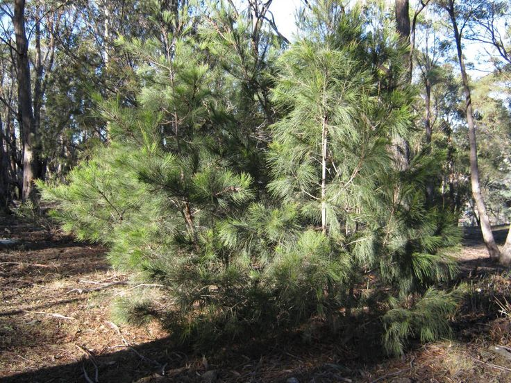 Allocasuarina littoralis black sheoak google search for Victorian garden trees