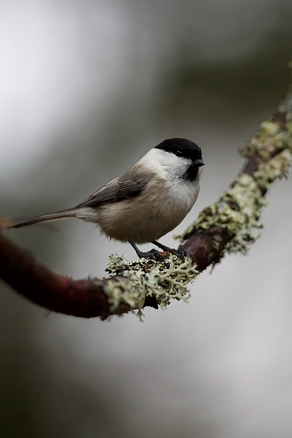 "Willow Tit (As a kid we called birds with these markings ""Bandits"" - LC)"