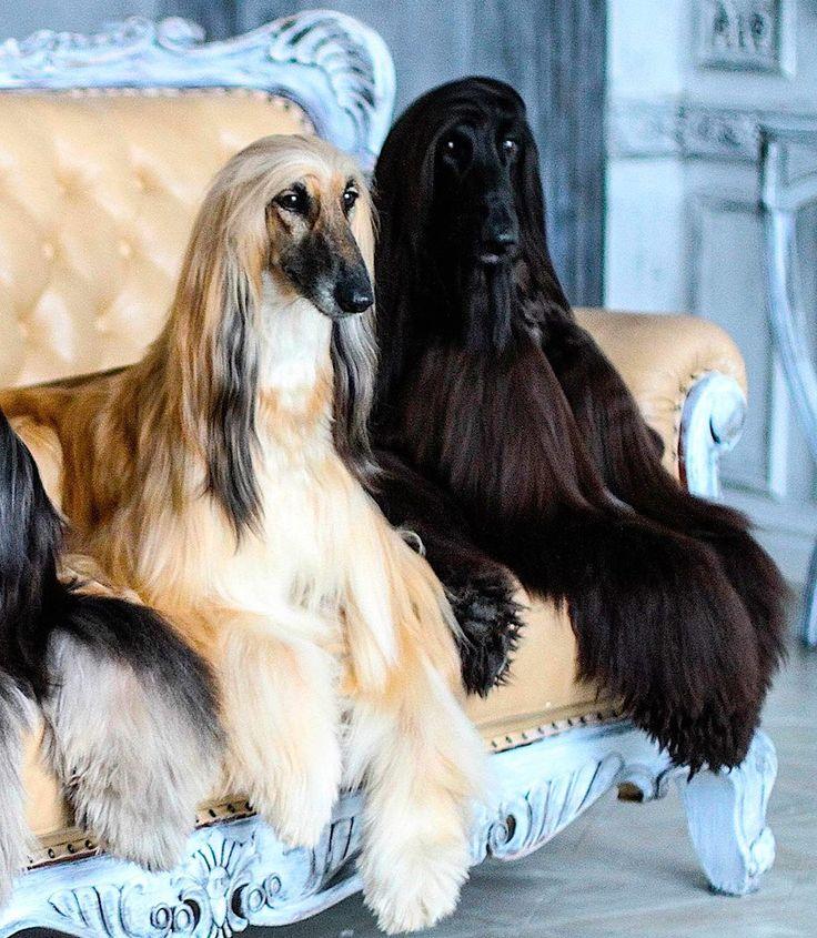 Sims 3 Afghan Hound 876 best AFGHANS - DOG...