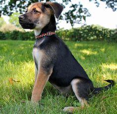 German Shepherd Mixed With Pitbull
