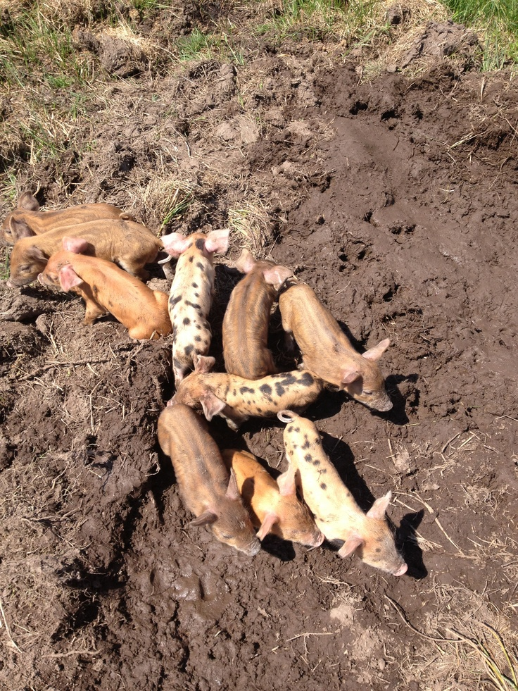 Some newborn piglets