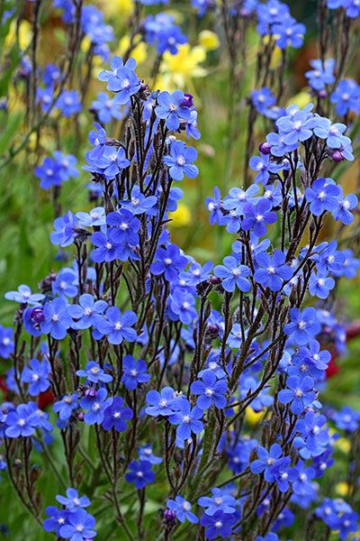 Anchusa azurea--Alkanet. Long-lived, drought tolerant, 'tough as nails.'  Annie's Annuals