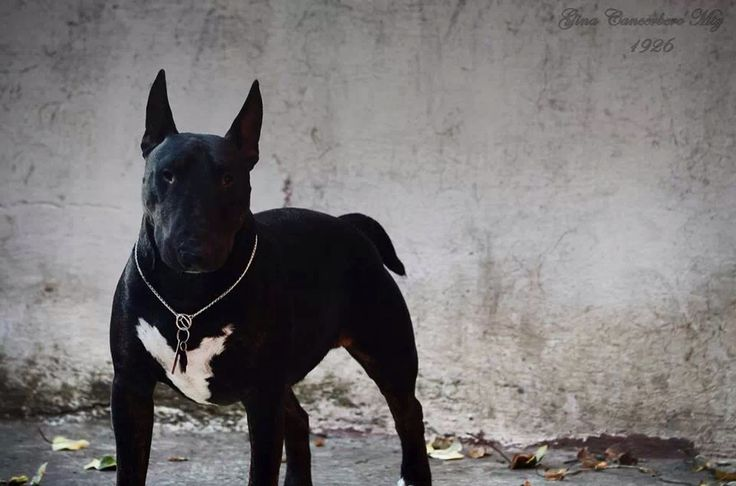 25+ best ideas about Black Bull Terrier on Pinterest ...