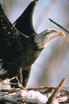 Common Name: BALD EAGLE,  Scientific Name: HALIAEETUS LEUCOCEPHALUS
