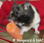 Hamster syrien mangeant une carotte