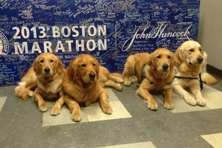 Golden Retrievers bring Joy, Comfort to Boston