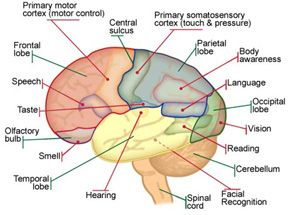 Diagram of the human brain with its respective parts.