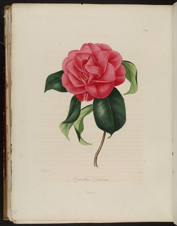 Image of Illustration of Camellia Dilecta
