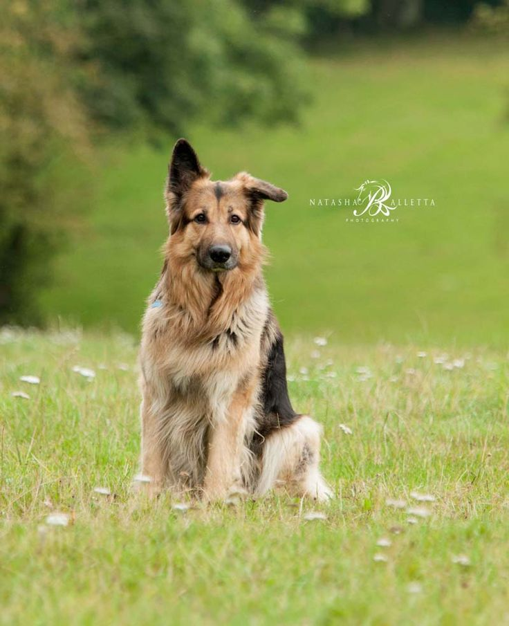 Jake is a handsome German Shepherd who has a lovely character and enjoys having fun running in the field.