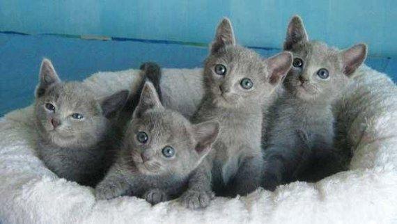 Cheerful Rabbit Rabbitlovers Russian Blue Kitten Russian Blue