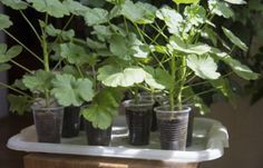 Geranium Plant Propagation: Learn How To Start Geranium Cuttings - Geraniums are some of the most popular houseplants and bedding plants out there. They're easy to maintain, tough, and very prolific. They're also very easy to propagate. Learn more about geranium plant propagation, particularly how to start geranium cuttings, here.