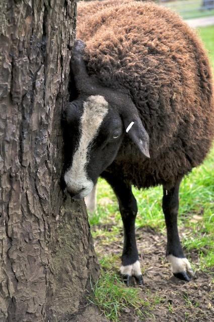 Zwartble sheep listen to trees