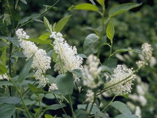The Lady Bird Johnson Wildflower Center Native Plant Information Network. Very helpful information for gardeners! Explore native plants, check out recommended species lists for your state, and more. Pretty jazzed to find this site! (Pictured: Ceanothus velutinus—Snowbrush)