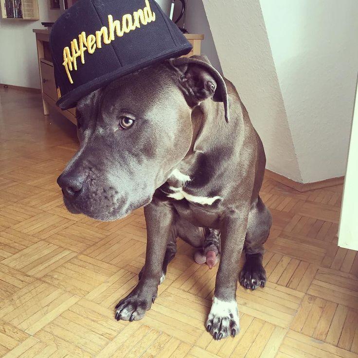 Yoooo. #beavis #bluepit #bluenose #bluepitbull #pit #pitbull #pitbullsofig #pitbulladvocate #pitbullsofficial #pitbullsofinstagram #pitbulllove #staff #staffy #dog #dogsofinstagram #dontbullymybreed #dontbullymybully #crossfit #crossfitgames #crossfitgirls #fit #fitness #follow4follow #fitfam #like4like #affenhand #healthyfood @affenhand @pitbullsfans__ @pitbullinstagram @pitbullsofinstagram @pitbullsofficial @pitbullgram_ #pitbull101 #rednose #pitbull