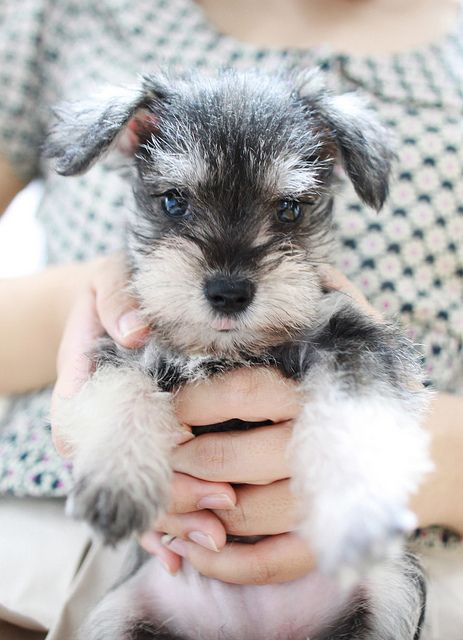 Looks exactly like my mom's dog Helga, so cute, I mean come on who doesn't need a baby schnauzer? :)