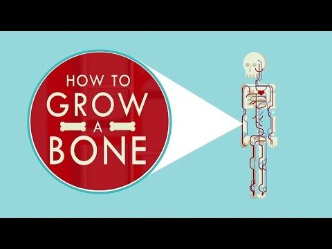 How to grow a bone Can you grow a human bone outside the human body? The answer may soon be yes. Nina Tandon explores the possibility by examining how bones naturally grow inside the body, and illuminating how scientists are hoping to replicate that process in a lab. View full lesson: http://ed.ted.com/lessons/how-to-grow-a-bone-nina-tandon Lesson by Nina Tandon, animation by Giant Animation Studios. By: TED-Ed.